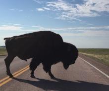 buffalo-pic